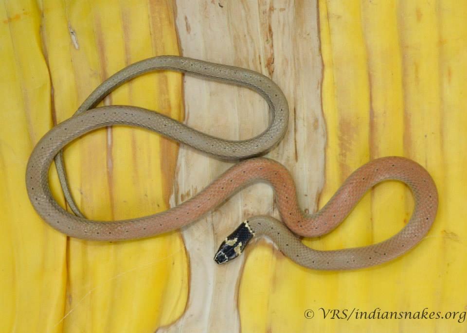 Image of Jerdon's Many-tooth Snake