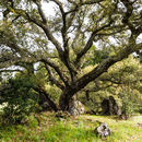Image of California Live Oak