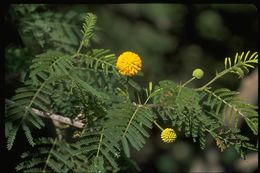 Image of gum arabic tree
