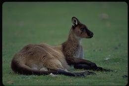 Image of Kangaroo Island Kangaroo