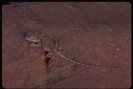 Image of Eyrean Earless Dragon
