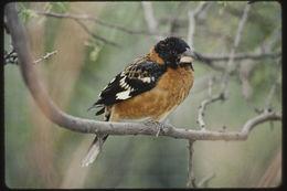 Image of Black-headed Grosbeak