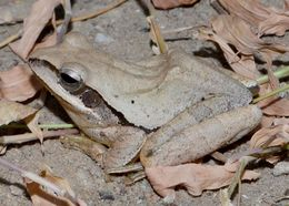 Image of Himalayan Tree Frog