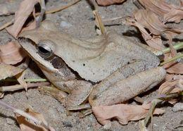 Image of Himalayan Tree Frog