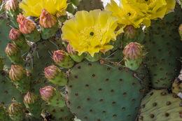 Image of <i>Opuntia polyacantha</i> var. <i>hystricina</i>