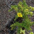 Image of Floreana daisy