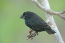 Image of Large Ground-Finch