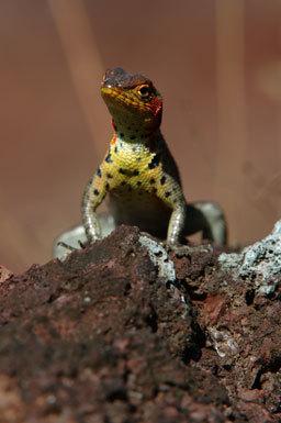 Image of Galapagos Lava Lizard