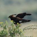 Image of Long-crested Eagle