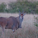 Image of Common Eland