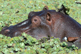 Image of Common Hippopotamus