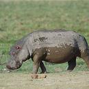 Image of Common Hippopotamus