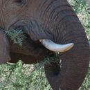 Image of LOXODONTA AFRICANA