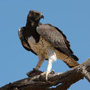 Image of Martial Eagle