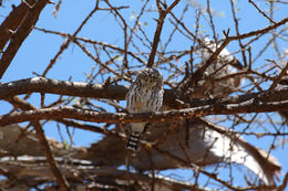Image of Pearl-spotted Owlet