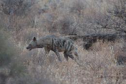 Image of Striped Hyena