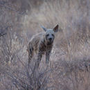 Image of Striped Hyena