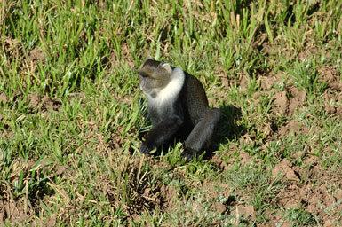 Image of Mount Kenya Sykes' monkey