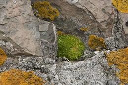 Image of Antarctic pearlwort