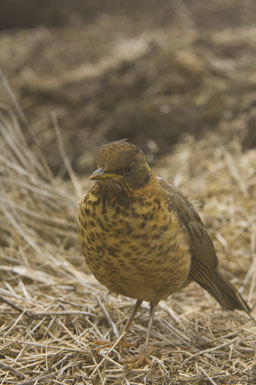 Image of Austral Thrush