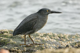 Image of Lava Heron