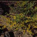 Image of <i>Acmispon procumbens</i> (Greene) Brouillet