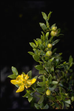 Image of <i>Larrea divaricata</i> Cav.