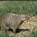 Image of Banded Mongoose