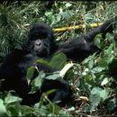 Image of Eastern Gorilla
