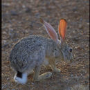 Image of Arabian Hare