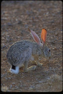 Image of Cape hare