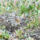 Image of Wrangel Island Collared Lemming