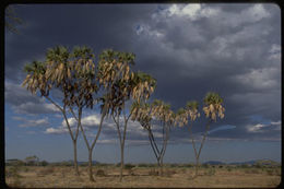 Image of doum palm