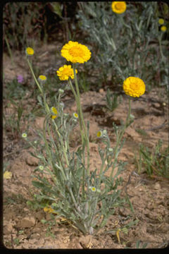 Image of woolly desert marigold