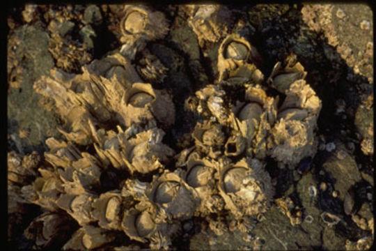 Image of Acorn barnacle