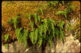 Image of licorice fern