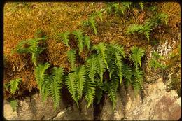 Sivun <i>Polypodium glycyrrhiza</i> D. C. Eat. kuva