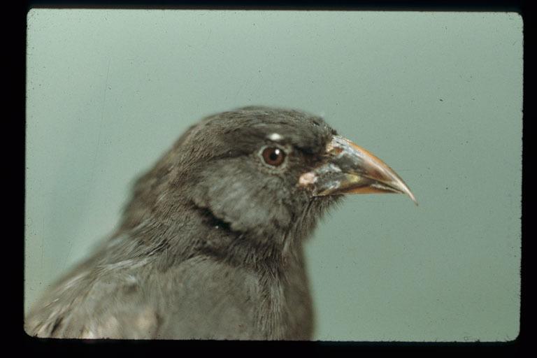 Image of Sharp-beaked Ground Finch