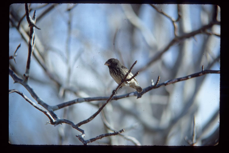 Image of Small Tree-Finch