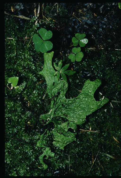 Image of lung lichen