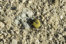 Image of Inflated Beetle