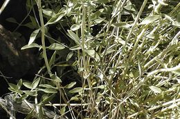 Image of flaxleaf monardella