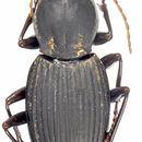Image of <i>Platysmodes gambeyi</i> (Fauvel 1882)