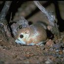 Image of Merriam's Kangaroo Rat