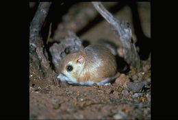 Image of Merriam's Kangaroo Rat