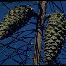 Image of knobcone pine