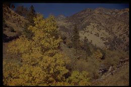 Image of Oregon ash