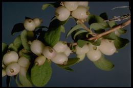 Image of Utah snowberry