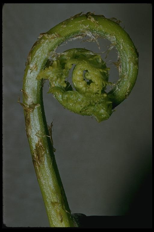 Image of subarctic ladyfern