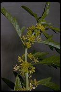 Image of <i>Datisca glomerata</i> (C. Presl) Baill.